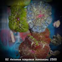 Б2 Актиния ковровая минимакс 2500