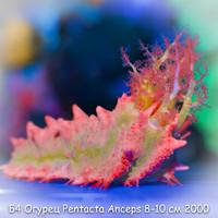 Б4 Огурец морской розовый PentactaAnceps 6-7 см 2000