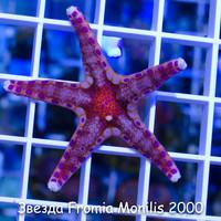 Б20 Звезда Fromia Monilis 2000