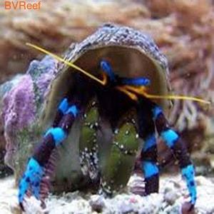 Б24 Отшельник синелапый мелкий 350