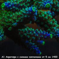 А1 Акропора зеленая с синими кончиками от 5 см 1400