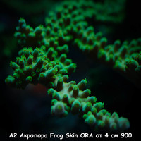 А2 Акропора Frog Skin ORA от 4 см 900