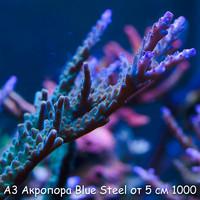 А3 Акропора Blue Steel от 5 см 1000