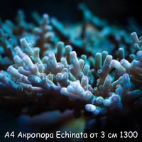 А4 Акропора Hawkins Echinata от 3 см 1200