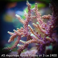 А5 Акропора пурпурная Purple Plasma ORA от 3 см 2400
