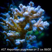 А17 Акропора радужная от 2 см 8600