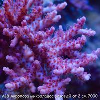А18 Акропора микроладос розовый от 2 см 7000