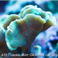 А19 Павона мятная Mint Pavona ORA от 4 см 700