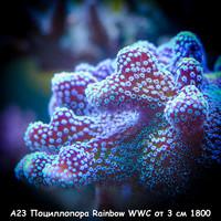 А23 Поциллопора Rainbow WWC от 3 см 1800