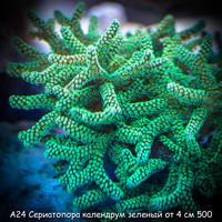 А24 Сериатопора календрум зеленый ультра от 4 см 500