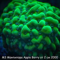 М3 Монтипора инкрустирующая Apple Berry от 2 см 2000
