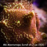 М6 Монтипора инкрустирующая Scroll от 2 см 1500