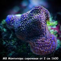 М8 Монтипора инкрустирующая сиреневая от 2 см 1600
