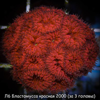 Л6 Бластомусса красная 2000 (за 3 головы)