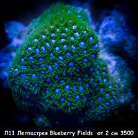 Л11 Лептастрея Blueberry Fields от 2 см 3500