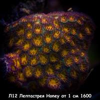Л12 Лептастрея Honey от 1 см 1600