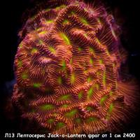 Л13 Лептосерис Jack-o-Lantern фраг от 1 см 2400