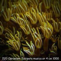 Л20 Органчик Tubipora musica от 4 см 1000