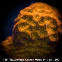Л25 Псаммокора Orange Melon от 1 см 1500