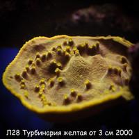 Л28 Турбинария желтая от 3 см 2000