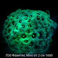 Л30 Фавитес Mint от 2 см 1600