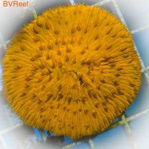Фунгия оранжевая Plate coral - Orange