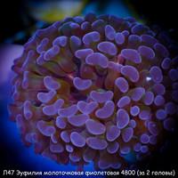 Л47 Эуфилия молоточковая фиолетовая 4800 (за 2 головы)