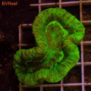 Л60 Трахифилия ультра зеленая 4400