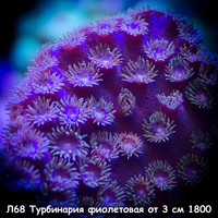 Л68 Турбинария фиолетовая от 3 см 1800