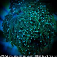 Л72 Эуфилия зеленая факельная 3500 (за фраг 2 головы)