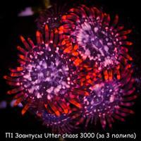 П1 Зоантусы Utter chaos 3000 (за 3 полипа)