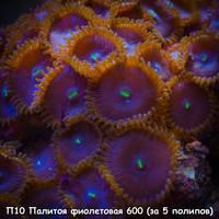 П10 Палитоя фиолетовая 600 (за 5 полипов)