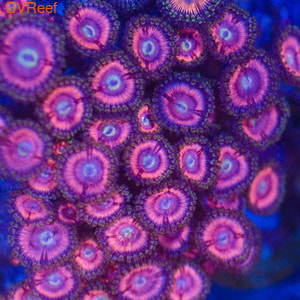 П14 Зоантусы Blue kiss 3000 (6-8 полипов) WYSIWYG 3000