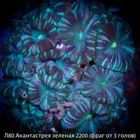 Л80 Акантастрея зеленая Acanthastrea lordhowensis 2200 (за фраг от 3 голов)