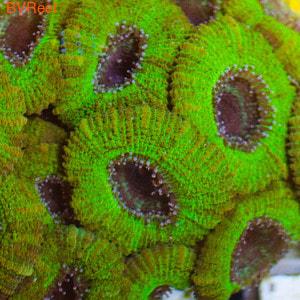Л82 Акантастрея ультра австралийская Acanthastrea lordhowensis 3300 (за фраг от 2 голов)