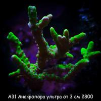 А31 Анакропора ультра от 3 см 2800