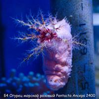 Б4 Огурец морской розовый Pentacta Anceps 2400