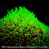 МК14 Бриареум ярко-зеленый от 4 см 600