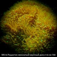 МК16 Родактис зеленый мохнатый крупный диск 4-6 см 700