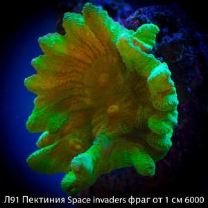 Л91 Пектиния Space invaders фраг от 1 см 6000