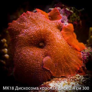 МК18 Дискосома красная диск 2-4 см 300