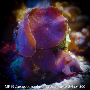 МК19 Дискосома фиолетовая диск 2-4 см 300