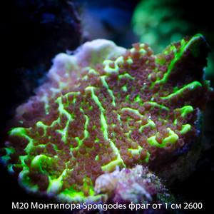 М20 Монтипора Spongodes фраг от 1 см 2600