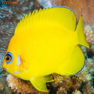Ангел апельсиновый (Centropyge flavissimus)