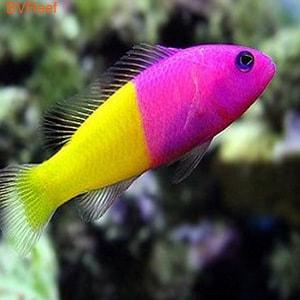 Ложнохромис королевский Pseudochromis paccagnellae
