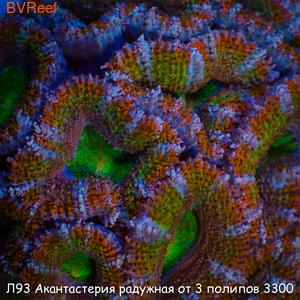 Л93 Акантастерия радужная от 3 полипов 3300