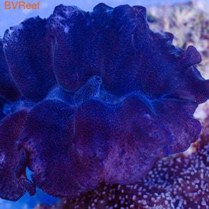 Б37 Тридакна кроцея (шафранная) Tridacna crocea