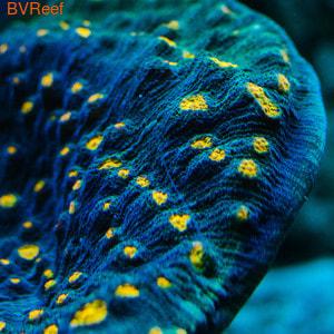 Ч18 Mycedium Robokaki Orange Eye Chalice фраг 3-4 см 1600
