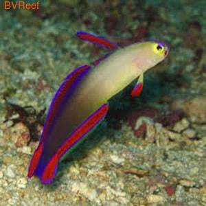 Бычок пурпурныйNemateleotris decora