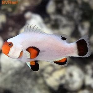 Клоуны платиновые Platinum storm clownfish